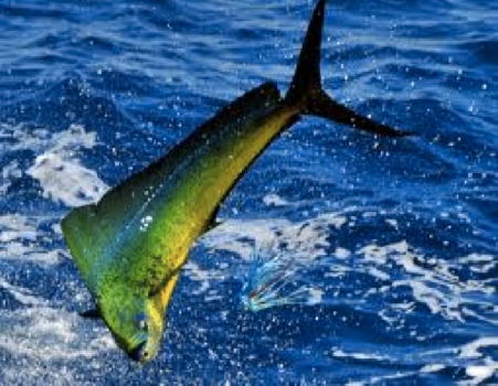 Fiji seafood marketing llc for Dolphin fish pictures